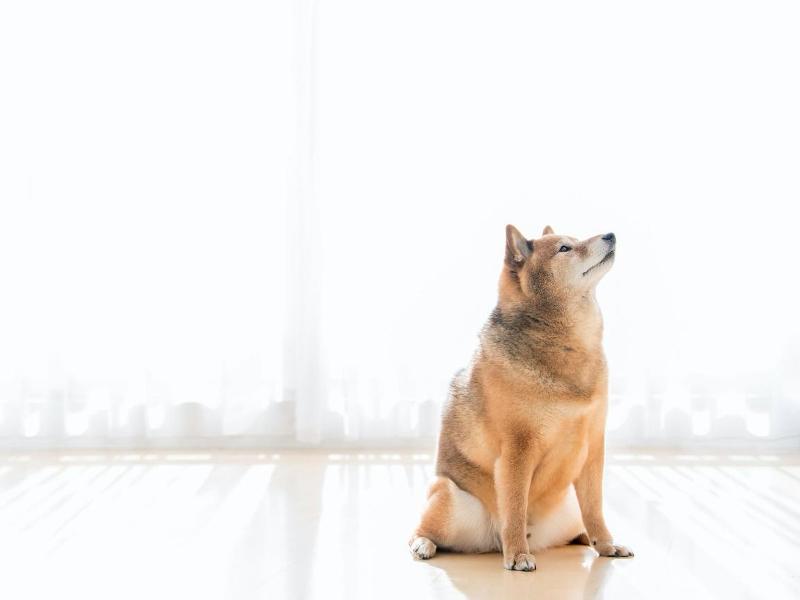 柴犬特有の性質とは?どんな病気にかかりやすい?