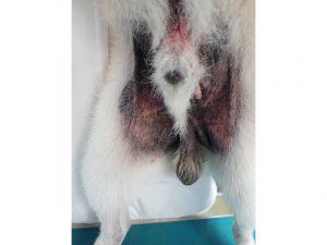犬アトピー性皮膚炎の犬の内股