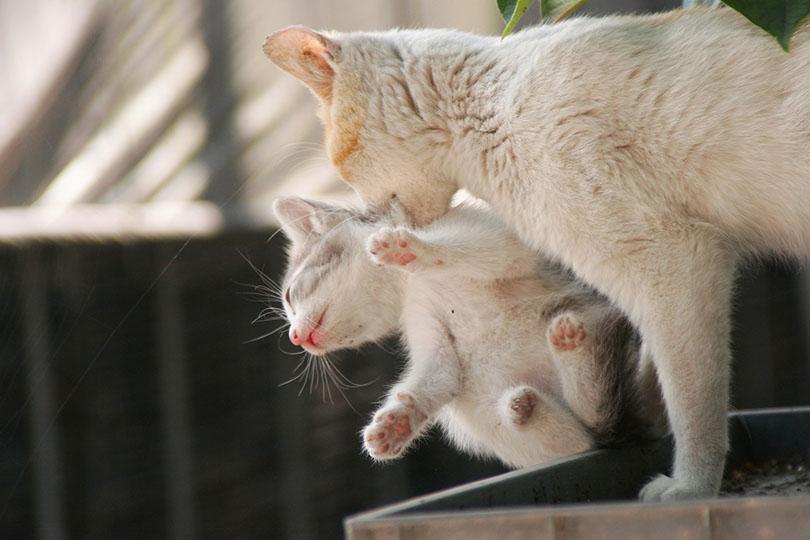 猫同士が噛み合う理由