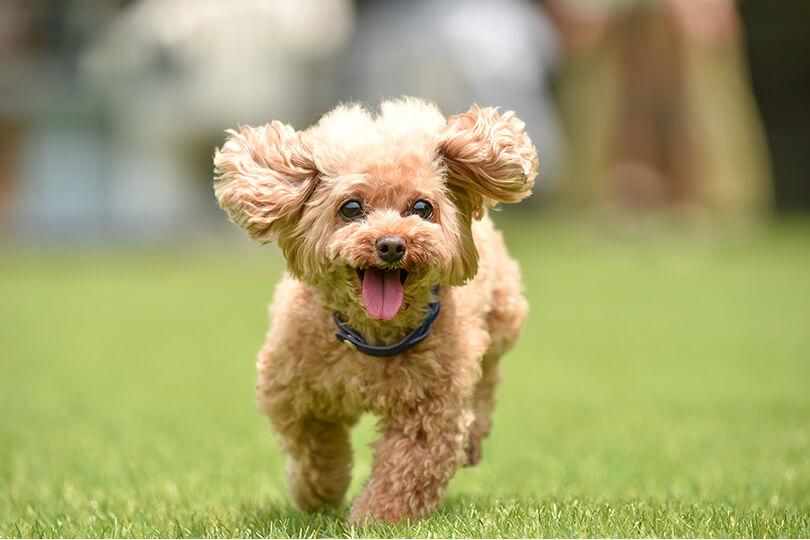 犬のスキップ、まずは膝蓋骨脱臼(パテラ)を疑おう