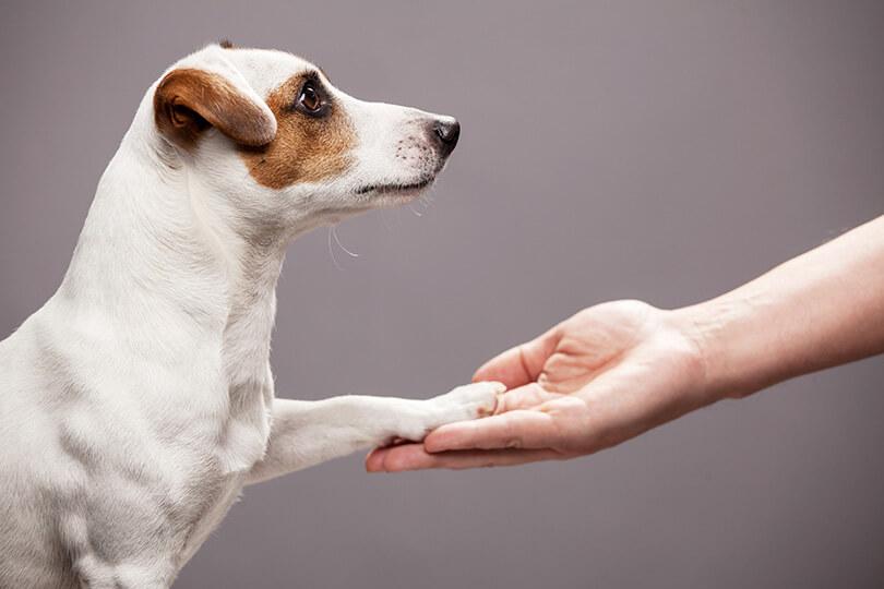 【膝蓋骨脱臼(パテラ)の予防法】犬の関節は日々のケアが大切